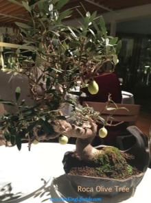 6 Roca Olive Tree_new